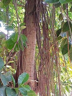 Ficus elastica wikipedia la enciclopedia libre for Ornamental definicion