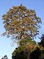 Ficus obliqua Thunderbolts Way.JPG