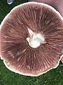 Field Mushroom Gills.jpg