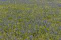 Field of bluebonnets, the Texas State Flower, near Livingston in Polk County, Texas LCCN2014633608.tif