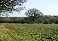 Field of broad bean seedlings - geograph.org.uk - 1066853.jpg