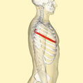 Fifth rib lateral.png