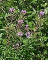 Fireweed (Chamaenerion angustifolium) - Newfoundland 2019-08-21.jpg