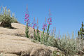 Fireweed Epilobium angustifolium on rock sky.jpg