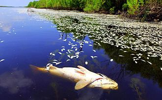 Pointe à la Hache, Louisiana - Fish floating in waterways near Pointe a la Hache in June 2010.