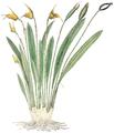 Fl. Columb.-0163-CLIII-Masdevallia coriacea.png