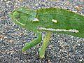 Flap-neck Chameleon (Chamaeleo dilepis) (6042011624).jpg
