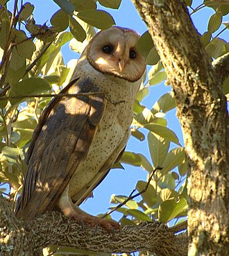 Barn owl - In Brazil