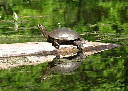 A Western Pond Turtle in Oregon