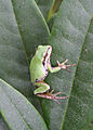 Flickr - Oregon Department of Fish & Wildlife - 9837 pacific tree frog swingle odfw.jpg