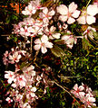 Flickr - Per Ola Wiberg ~ mostly away - körsbärsblom (cherry).jpg