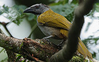 Flickr - Rainbirder - Black-headed Saltator (Saltator atriceps)