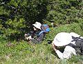 Flickr - brewbooks - Stalking Clematis occidentalis.jpg