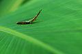 Flickr - ggallice - Orthopteran.jpg