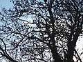 Flock of starlings in tree, Somerton, Somerset 02.jpg