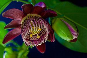 Português do Brasil: flor de maracujá