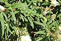 Flora della Sardegna 259 (05).jpg