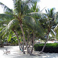 Florida Keys Coconut Palm 2008.jpg