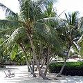 Florida Keys Coconut Palm 2008.jpg