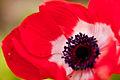 "Flower, Anemone ""De Caen"" - Flickr - nekonomania.jpg"
