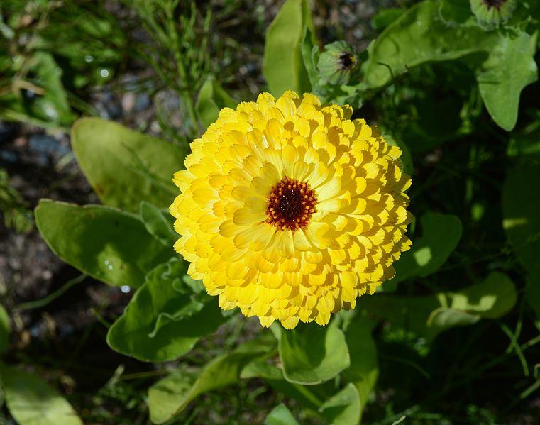 File:Flower July 2013-2.jpg