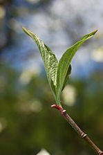 Flowering Dogwood Cornus florida Leaf 2000px