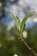 Flowering Dogwood Cornus florida Leaf 2000px.jpg