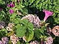 Flowers of Hydrangea macrophylla and Ipomoea nil 20200621.jpg
