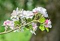 Flowers of Malus domestica (20).jpg