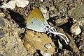 Fluffy Tit male underside (8162093017).jpg