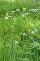 Fluitenkruid (Anthriscus sylvestris) 26-04-2020. (actm.) 02.jpg