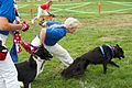 "Flyball race at ""Bark in the Park"".jpg"