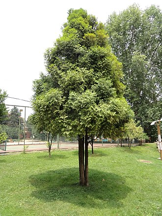 Fokienia - Image: Fokienia hodginsii Kunming Botanical Garden DSC03140