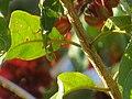 """Folhas e ramo de """"Escova-de-macaco"""" - Combretum fruticosum - Combretaceae - Liana semilenhosa - trepadeira 02.jpg"""