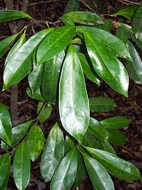 Fontainea australis leaves.jpg