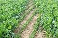 Footpath through field of beet - geograph.org.uk - 968222.jpg