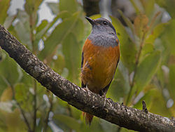 Forest Rock-Thrush (Monticola sharpei), Ranomafana National Park, Madagascar.jpg