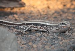 Four-lined Plated Lizard 087.jpg