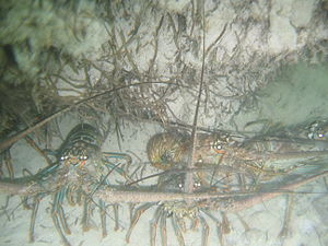 Panulirus argus - Four spiny lobsters off the Florida coast