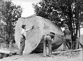 Four people surrounding a piece of Kauri (AM 75769-1).jpg