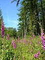 Foxgloves in Aveton Wood - geograph.org.uk - 188367.jpg