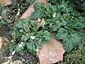 Francoa appendiculata - Palmengarten Frankfurt - DSC01935.JPG