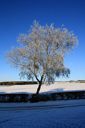 A frozen tree