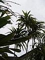 Frullania falciloba Lehm. (AM AK321893-1).jpg