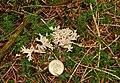 Fungus, Tardree forest (8) - geograph.org.uk - 982371.jpg