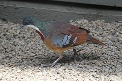 Gallicolumba criniger -Philadelphia Zoo, Pennsylvania, USA-8a.jpg