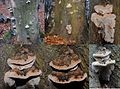 Ganoderma adspersum or G. australe or G.tornatum (GB= Polyporus Australis or Southern Bracket, D= Wulstige Lackporling, F= Ganoderme d'Europe, NL= Dikrandtonderzwam) brown spores and causes white rot, at Zijpendaal, i - panoramio.jpg