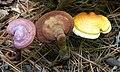 Ganoderma meredithiae Adask. & Gilb 337806.jpg