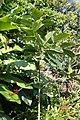 Gardenia sootepensis 6zz.jpg