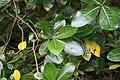Gardenia taitensis 3zz.jpg